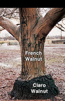 French Walnut Tree grafted with Claro Walnut root stock.